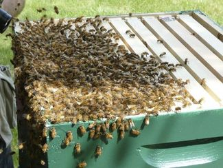 Closeup of swarm in hive
